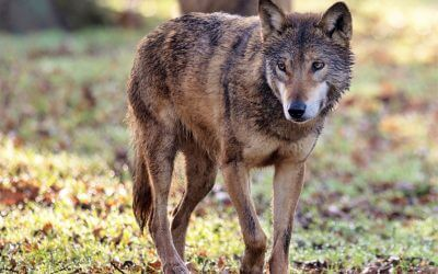 'Native' wolves return to Longleat