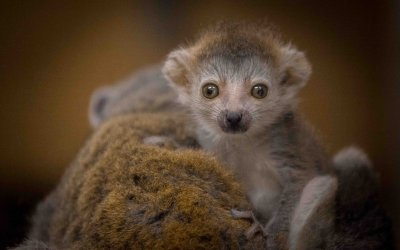 Endangered lemur is Newquay Zoo's crowning glory