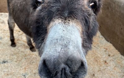 Meet the world's oldest donkey!